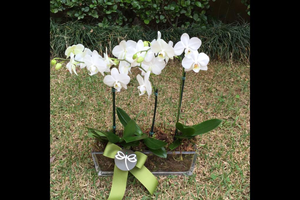 Orquídeas brancas para presente